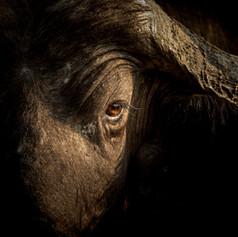 Buffalo Eye, SamuelCox Digital Download.