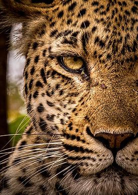 Leopard5, SamuelCox Digital Download.jpg