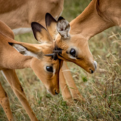 Impala babies, SamuelCox Digital Downloa