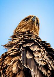 Tawny Eagle, SamuelCox Digital Download.jpg