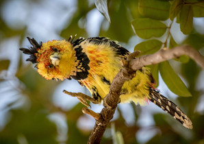 Crested Barbet, SamuelCox Digital Download.jpg