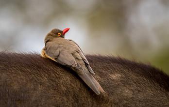 Red Billed Oxpecker, SamuelCox Digital Download.jpg