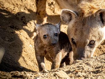 Hyena Birth - A Moment Of Magic