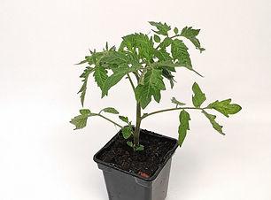 tomate en pot.jpg