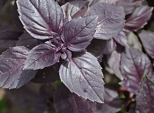 basilic violet.jpeg