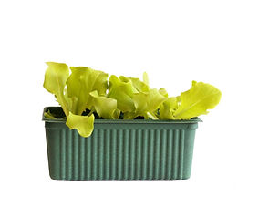 Plant de laitue.jpg