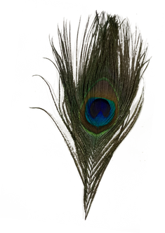 journal-peacock.png