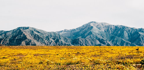 Superbloom in Death Valley