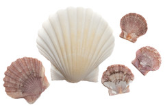 Shells from Finisterre
