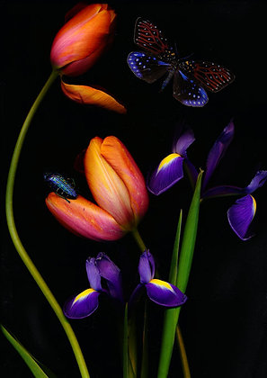 Foto orange Tulpen und Iris 100cm x 90cm