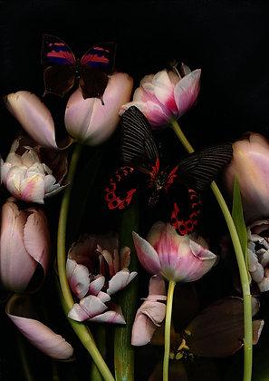 Foto Lachsfarbene Tulpe 100cm x 90cm