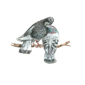 valentines pigeons