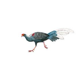 blue pheasant