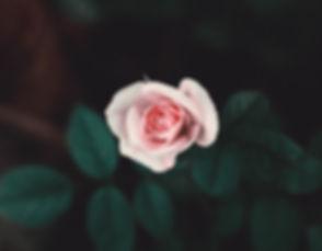 Pink Rose_edited.jpg