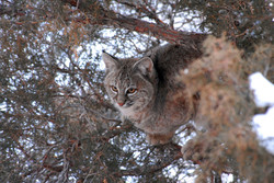 bobcat in tree 20110209_2212