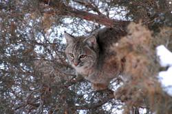 bobcat in tree 20110209_2212