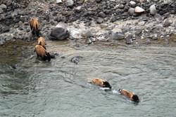 bison entering river 20110501_4501