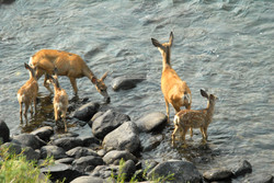 deer and fawns at river 20120820_8238