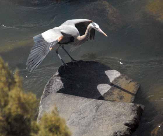 heron landing 20130415_2744