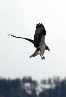 20110501_4407 osprey hovering