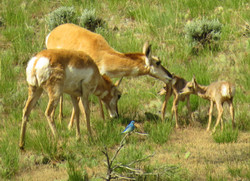 pronghorn with bluebird IMG_6131