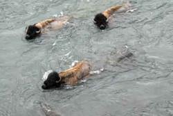 20110501_4504 bison swim close up