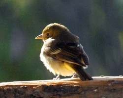 western tanager female 20110609_0350