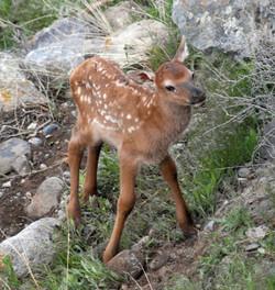 calf elk 20110528_9192