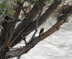 western tanager 20110620_2075