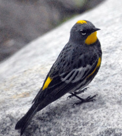 Yellow rumped warbler 20110603_0181