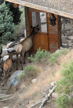 elk and calf at river bed 20150716_2280