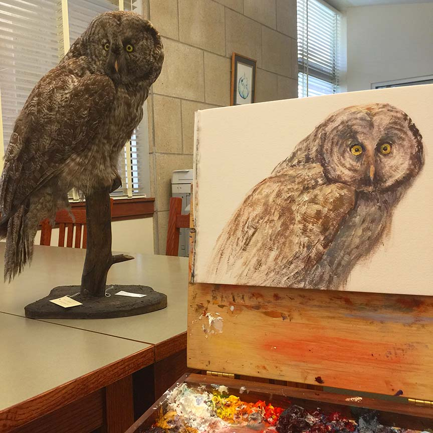 Great Grey Owl - study