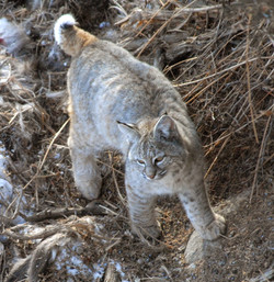 bobcat walking 20110208_1488