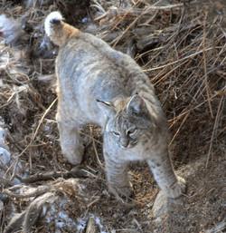 bobcat walking 20110208_1488
