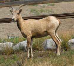 big horn sheep 20140806_9828