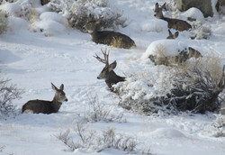 deer in snow 20161129_3327
