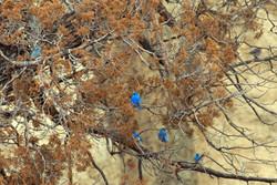 Bluebirds in dead tree 2009 04 03 151