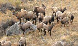 big horn sheep herd on property 20131108_1031
