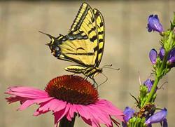 swallowtail 72 dpi IMG_6785
