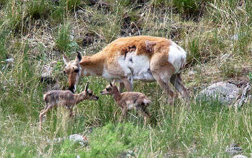 pronghorn with hour old twins 6A1A9865.j