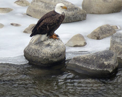 eagle at river 20150108_6785