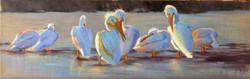 Pelican Line Up