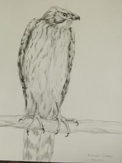 goshawk drawing