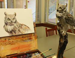Great Horned Owl - study
