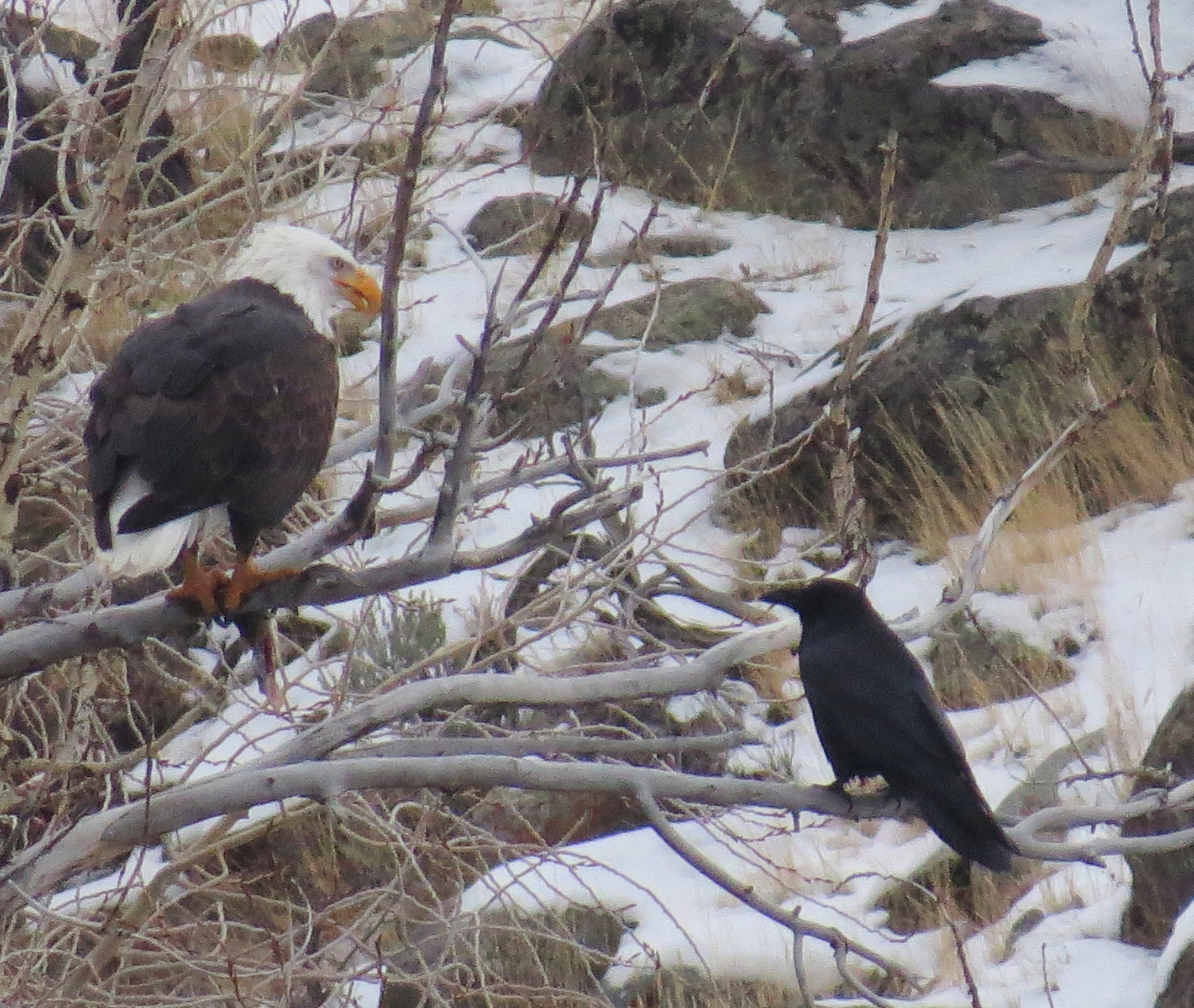 eagle with fish and raven watching 20161204_3438