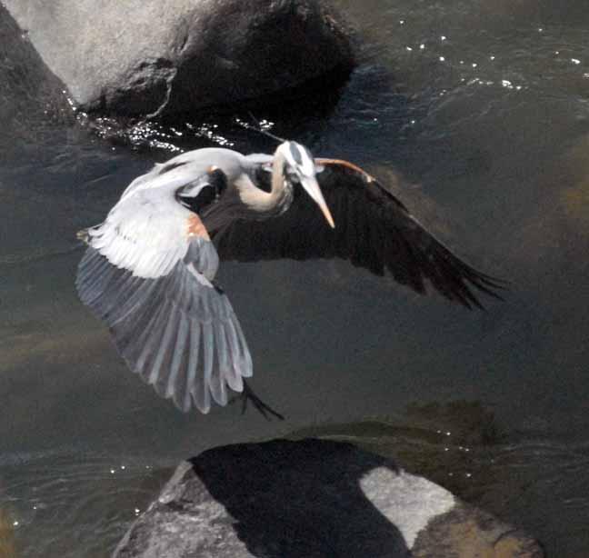heron landing on rock 20130415_2746