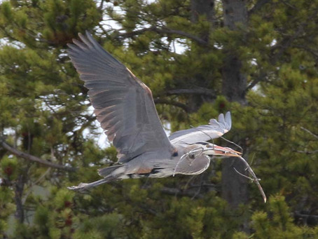 Heron Rookery - Spring nest building