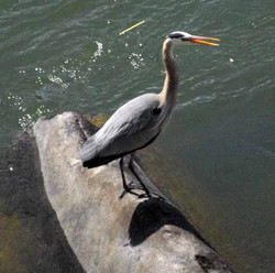 heron on rock here 20130415_2640