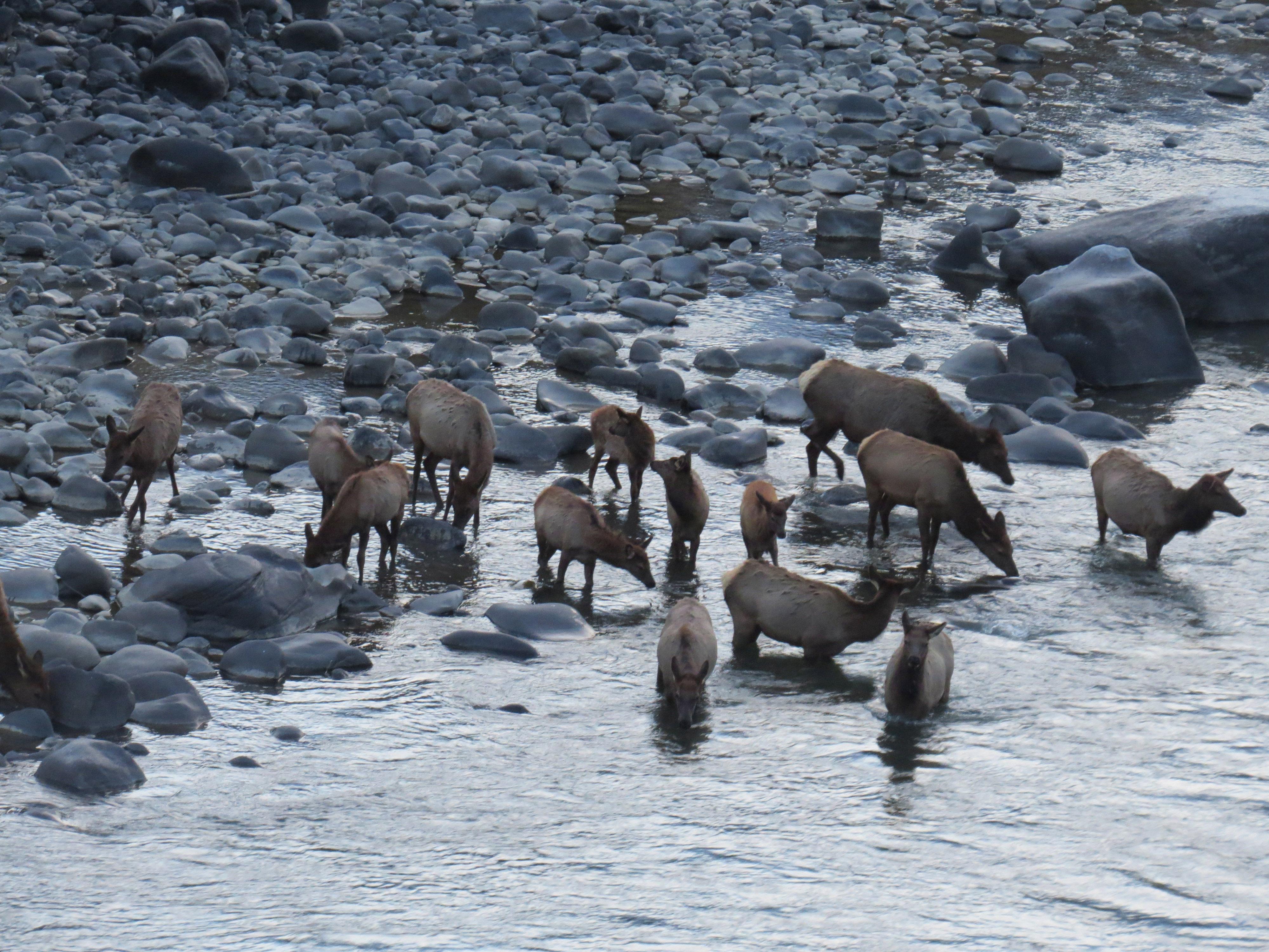elk at the river 20161013_9522