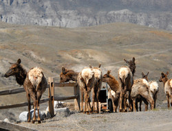 elk herd at fence 20110504_4726